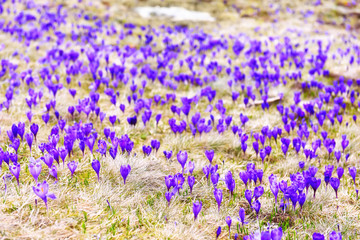 A glade in the mountains with blossoming beautiful flowers of crocus. The awakening of nature in the spring.