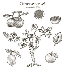 Citrus vector set hand drawing vintage style