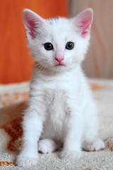White kitten albino