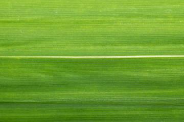 Лист растения бамбук макро