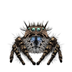 the spider has many eyes, hairy legs, symmetrical sketch drawing vector graphics color picture