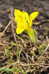 Yellow dwarf iris flower on early spring