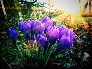 Wall Mural - Crocuses in the morning sun