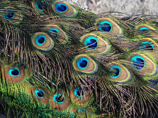 Peacock male. Plumage close-up. Macro