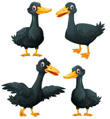 Black ducks in four actions
