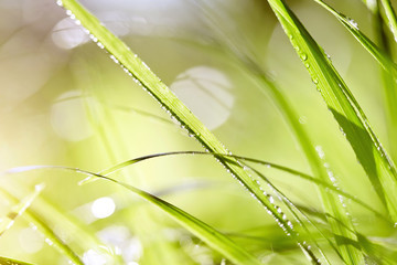 Wet green grass in dew drops