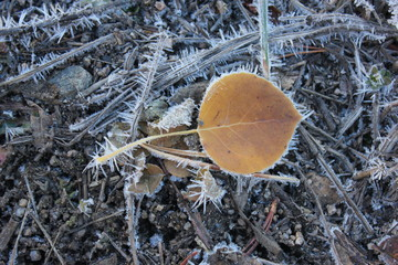 Aspen leaf with ice crystals