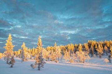 Wall Mural - Snowy landscape, frozen trees in winter in Saariselka, Lapland, Finland