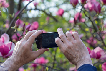 Hands of the tourist photographing on the smartphone blooming magnolias. Nature