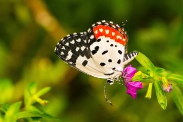 Pierrot Butterfly