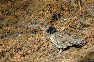 Camouflaged Grouse