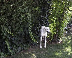 Greyhound white garden
