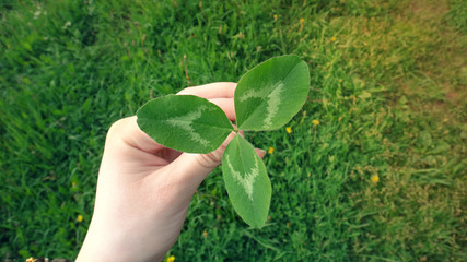 Female hand holding a leaf of white clover