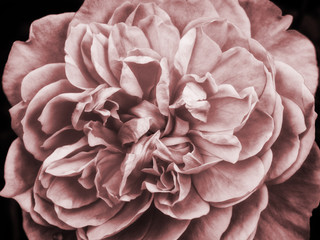 a faded pink large rose