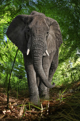 Enormous African Elephant in the Bush