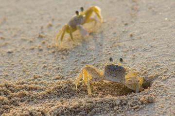 Ghost crab pair