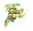 Realistic watercolor illustration of walnut tree, Juglans regia, with fruits, leaves. Walnut shell inside its green husk nuts.