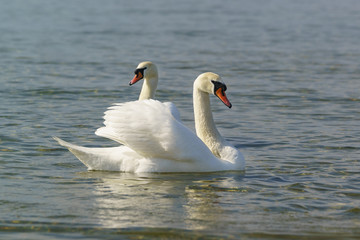 Beautiful pair of adult white swans mute (lat. Cygnus olor) is a bird of the duck family floating on the water