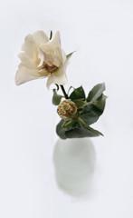 Single white rose in vase