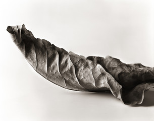 Dried leaf against white background