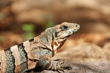 Close-up picture of Varanus sitting in the sun
