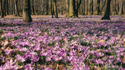 Meadow of crocus flowers in the spring forest