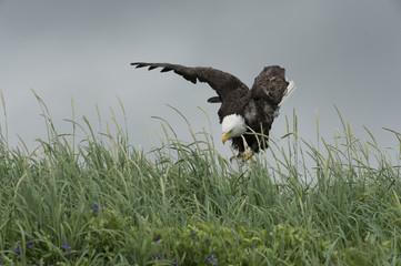 Bald eagle landing on perch