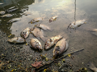 Dead fish on the river. dark water water pollution