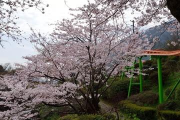 ラクテンチの桜