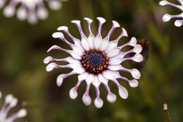 Osteospermum Whirligig daisy