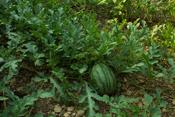 An Image of Watermelon,Watermelons on the green melon field in the summer,copy space,Watermelon in the farm
