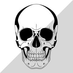 Human skull, drawn by hand