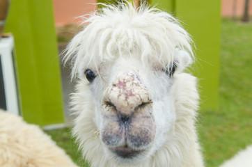alpaca portrait in zoo