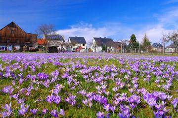 Fototapeten Krokusse Drebach Krokuswiesen im Erzgebirge - Crocus flowers in Drebach, Saxony