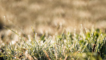 grass meadow in morning sunrise closeup with drops of water in japan