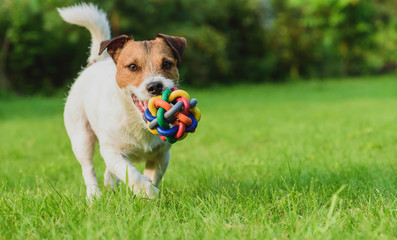 Funny dog looking at camera playing with toy ball