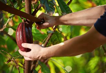 Cutting cocoa fruit