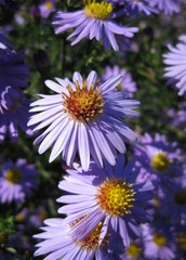Beautiful bushy aster flower in a natural garden environment