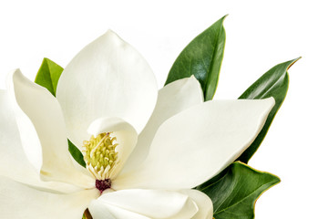 Magnolia Flower over White Background