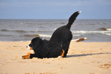 Berner Sennenhun puppy plays on a beach