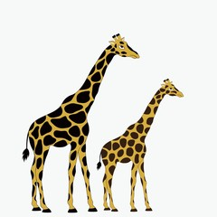 Two giraffes on white background