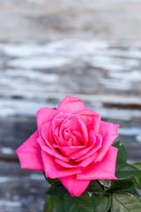 rosa ros mot rustik trä bakgrund med utrymme för egen text