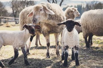 Zwei Lämmer und Schafe, artgerechte Tierhaltung