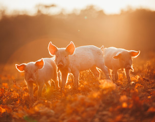 Happy piglets playing in leaves at sunset