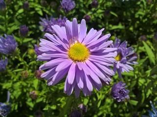 European Michaelmas-Daisy. Purple Violet Yellow flowers in the garden.