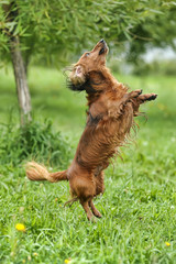 Dachshund jumping on the grass