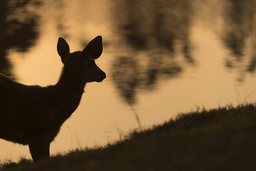 wild deer with sunset, Khao Yai