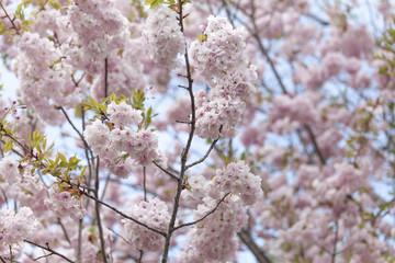 Cherry blossom. Closeup on a tree branch.