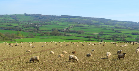 Wall Mural - Herd of sheep graze on the farmland in Axe Valley around town of Seaton in Devon