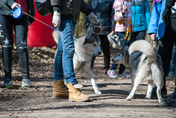 Two husky dogs on a leashes during sport competitions
